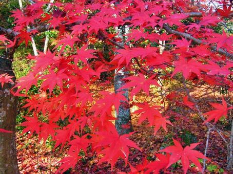 Autumn leaves in Arashiyama, Kyoto