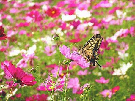 코스모스 밭과 호랑 나비