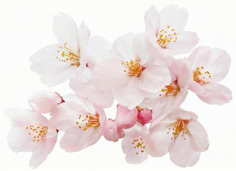 벚꽃 (오려 내기 경로 포함)
