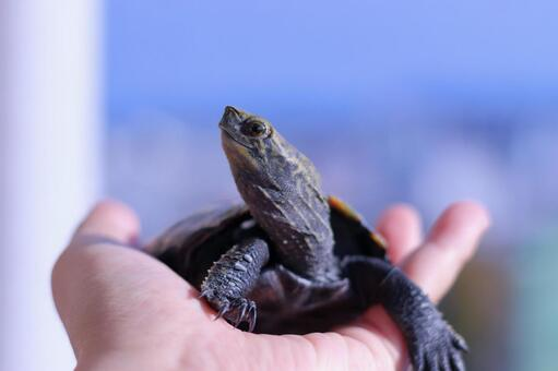 Turtle in the palm of the hand