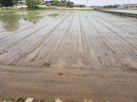 벼 모내기 쌀 쌀 쌀 시골 논 논