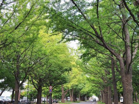 Hokkaido University Ginkgo Avenue