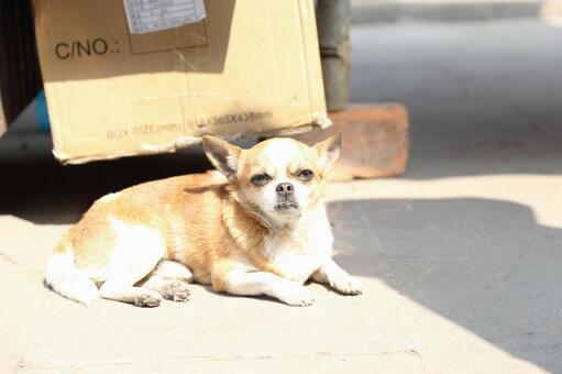 Xi'an dog
