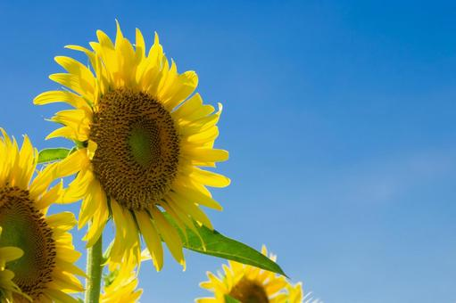 It's summer, blue sky and sunflower flowers