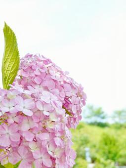 Hydrangea Pink Hydrangea Vertical