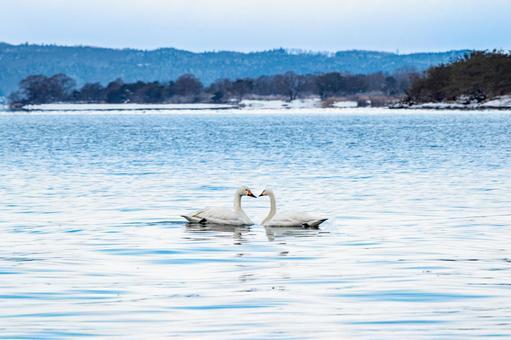 Swan heart love