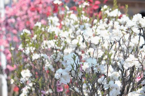 Spring sunshine Hanamomo