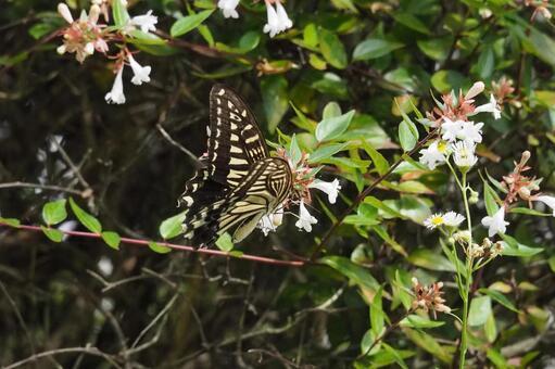 아베 리아 꽃 吸蜜하는 호랑 나비