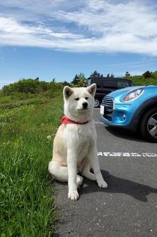 Akita Inu tired of driving