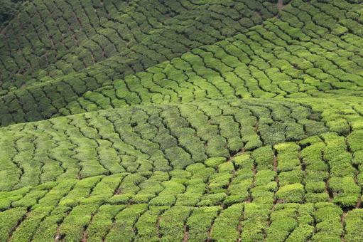카메론 하이랜드의 홍차 밭 말레이시아