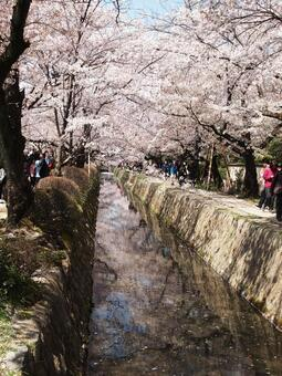 Waterways and cherry blossoms in full bloom