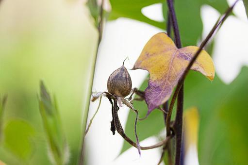 Morning glory fruit (seed)