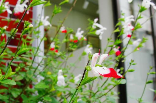 Salvia microfia flowers