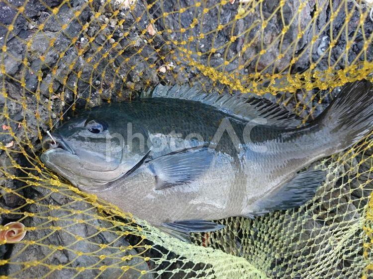 メジナ釣りの写真
