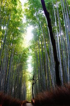 Kyoto Arashiyama Small diameter wallpaper of bamboo grove shining in the morning sun