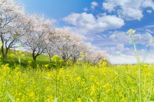 Blue sky and cherry blossoms and rape blossoms