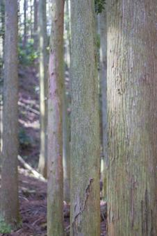 Cedar Forest 3