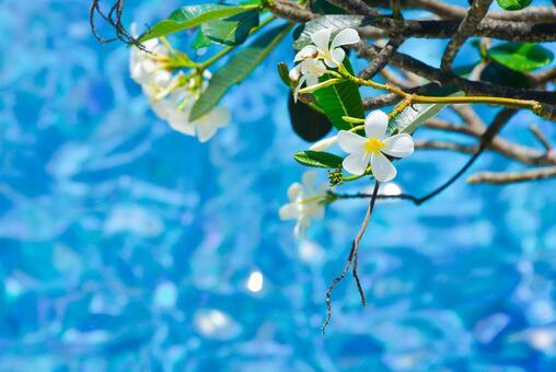 Plumeria and pool