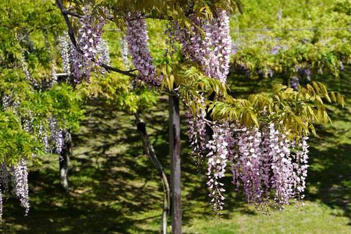 녹색에있는 등나무 꽃