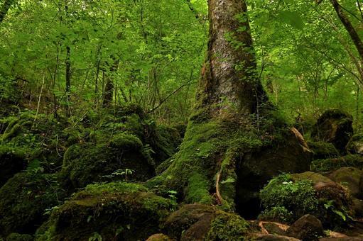 Old-growth forest of Oike Kurodake nature walkway