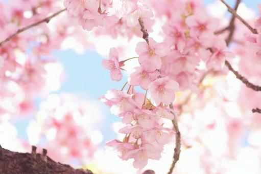 빨리 피는 벚꽃 -344