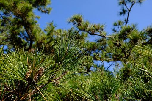 Image material of pine and blue sky (pine needles)