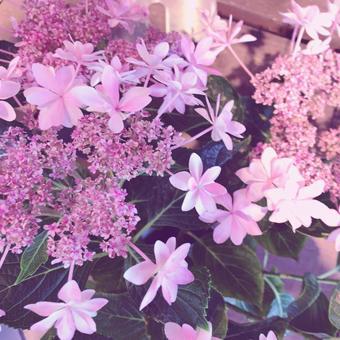 Cute pink hydrangea