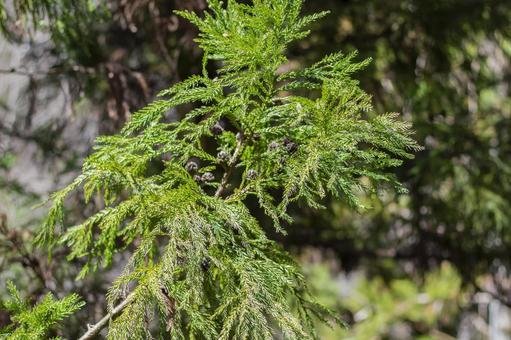 Sugi leaf 1