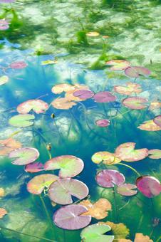 이름없는 연못 연꽃 색동