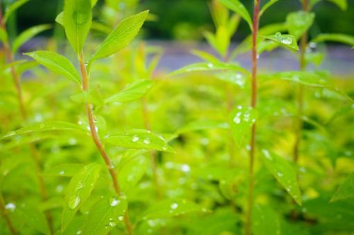 Leaf with raindrops / Image material of rain, rainy season, after rain