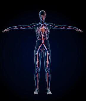 Anatomy model of human circulatory system