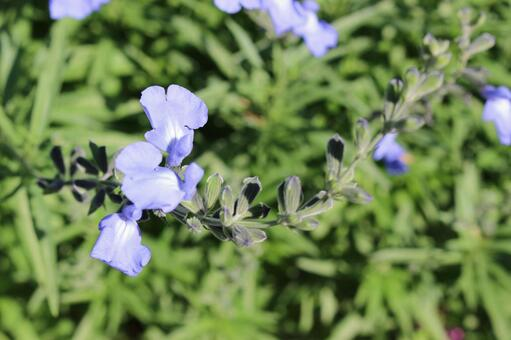 Salvia azurea flowers