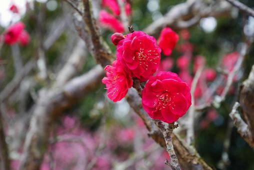 Colorful Hanamomo