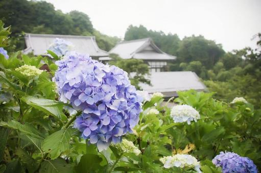 Blue-purple hydrangea and Myohoshoji Temple on the Mamenbara Plateau