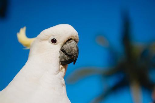 澳大利亞野生鳥類Kibatan英國名字美冠鸚鵡背景棕櫚樹棕櫚樹女性女性與紅色眼睛顏色