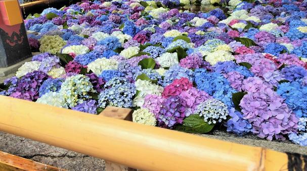 Hydrangea flower hand water 001