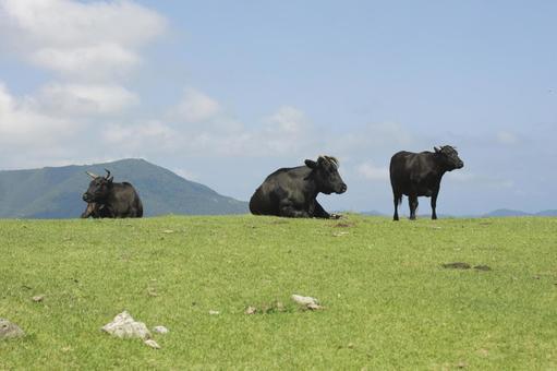 Shimane Prefecture Oki Islands Black Cow 12