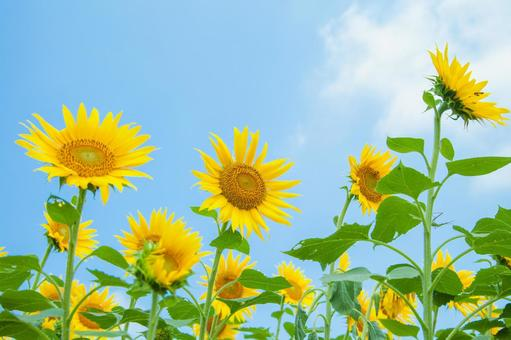 Sunflower field 43