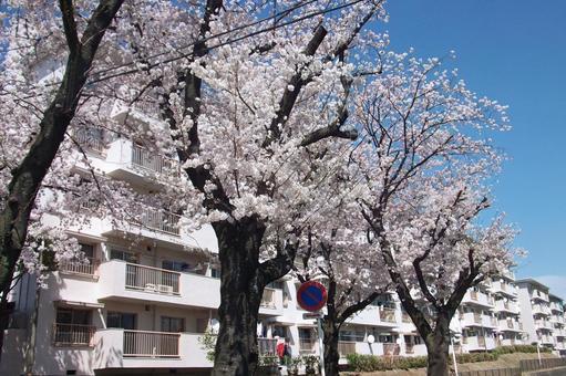 """在小原原周边散步·春天的""""樱·大一""""第51号"""