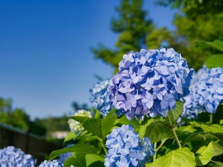 Hydrangea flowers against the blue sky