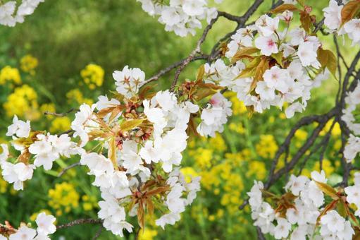 Isshingyo Sakura Close-up