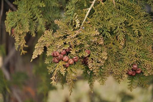 노송 나무 (잎, 구과)