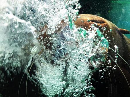 California sea lion breathing vigorously