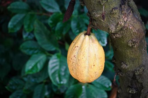 Scenery of a cacao plantation that becomes a tree