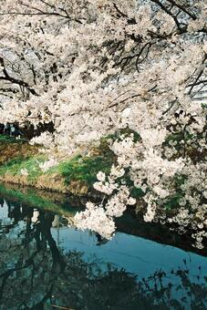 Cherry blossoms at Sakagawa