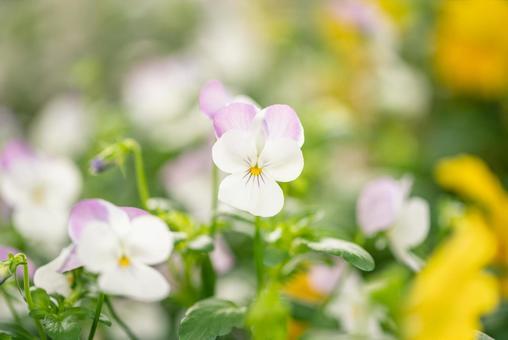 Violet flowers blooming in the spring park