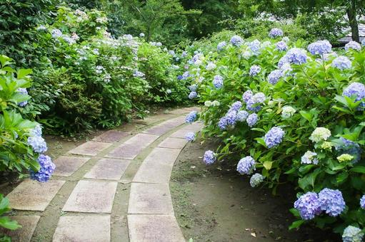 Mamenbara Plateau Blue-purple hydrangea and temple approach