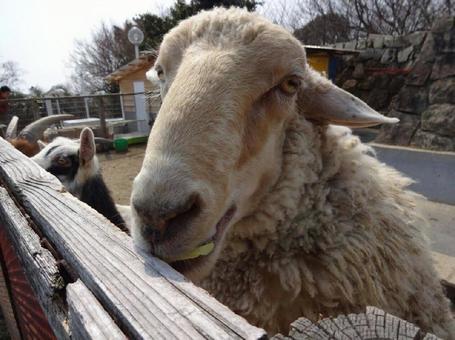 Sheep doup