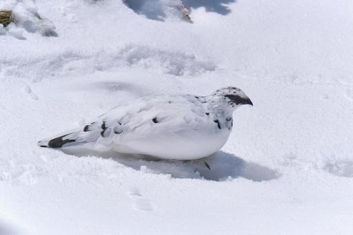 설원 위에서 쉬는 겨울 깃털 뇌조 수컷