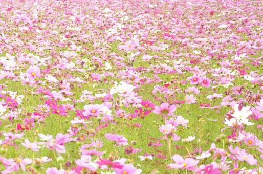 Cosmos field with pink carpet